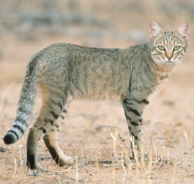Felis silvestris lybica (gato montés africano)